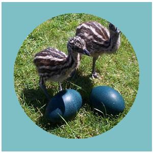 Category Emu Eggs