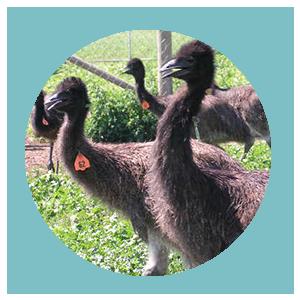 Category: Emu Husbandry